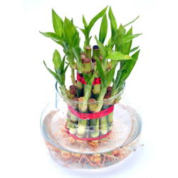 bamboo plant - with vase