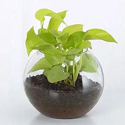 Money Plant Vase