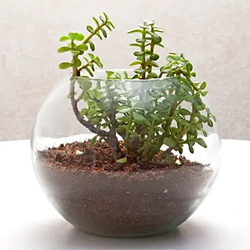 jade money bamboo lily ficus snake plant syngonium and more in terrarium