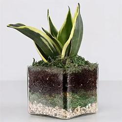 Lotus Sansevieria vase