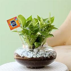 Beautiful Scindapsus Plant